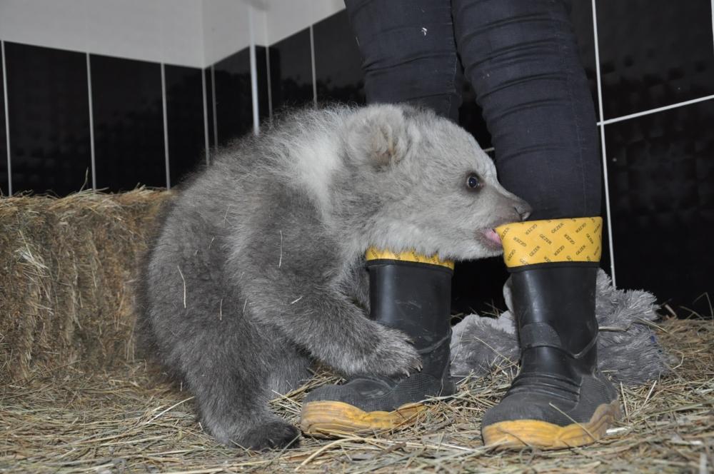 Yavru ayı bakıcısını annesi sanıyor 7
