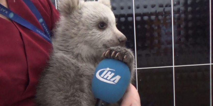Yavru ayı bakıcısını annesi sanıyor