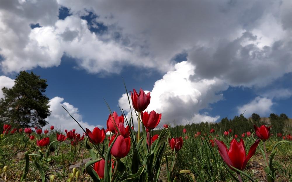Sarıkamış'ta Bahar Tüm Güzellikleriyle Yaşanıyor 1