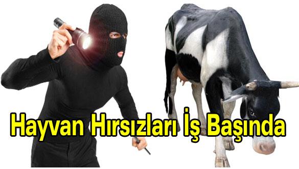 Ardahan'da Hayvan Hırsızları İş Başında
