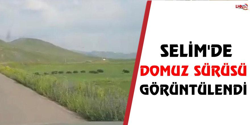 Selim'de Domuz Sürüsü Görüntülendi