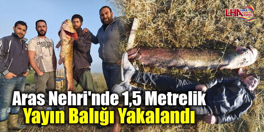 Aras Nehri'nde 1,5 metrelik yayın balığı yakalandı