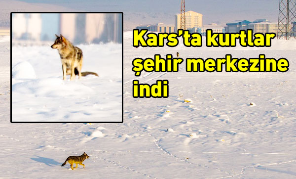 Kars'ta kurtlar şehir merkezine indi