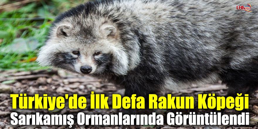 Türkiye'de İlk Defa Rakun Köpeği Sarıkamış Ormanlarında Görüntülendi