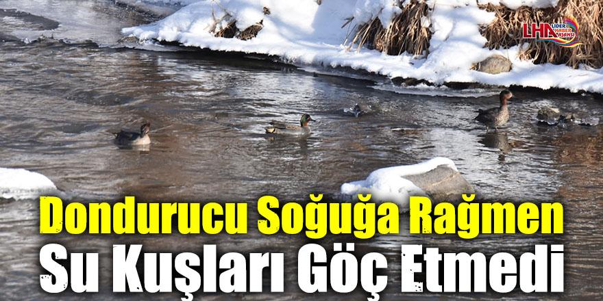 Dondurucu Soğuğa Rağmen Su Kuşları Göç Etmedi