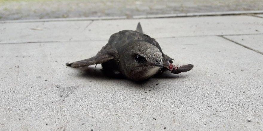 Kars'ta yaralı bulunan Ebabil kuşu tedavi altına alındı