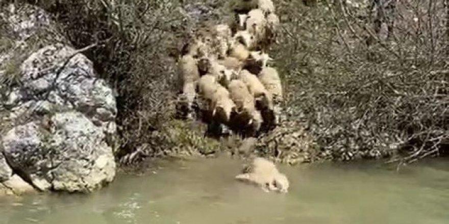 Koyunlar hastalıklara karşı derede yıkanıyor