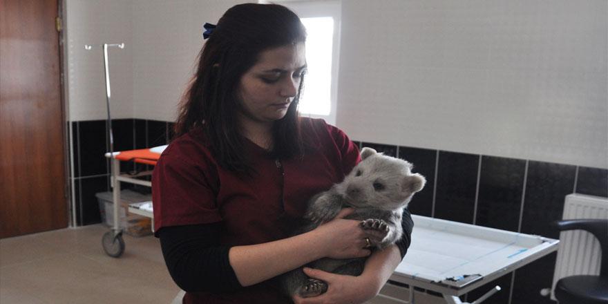yavru ayı Kars'ta koruma altına alındı