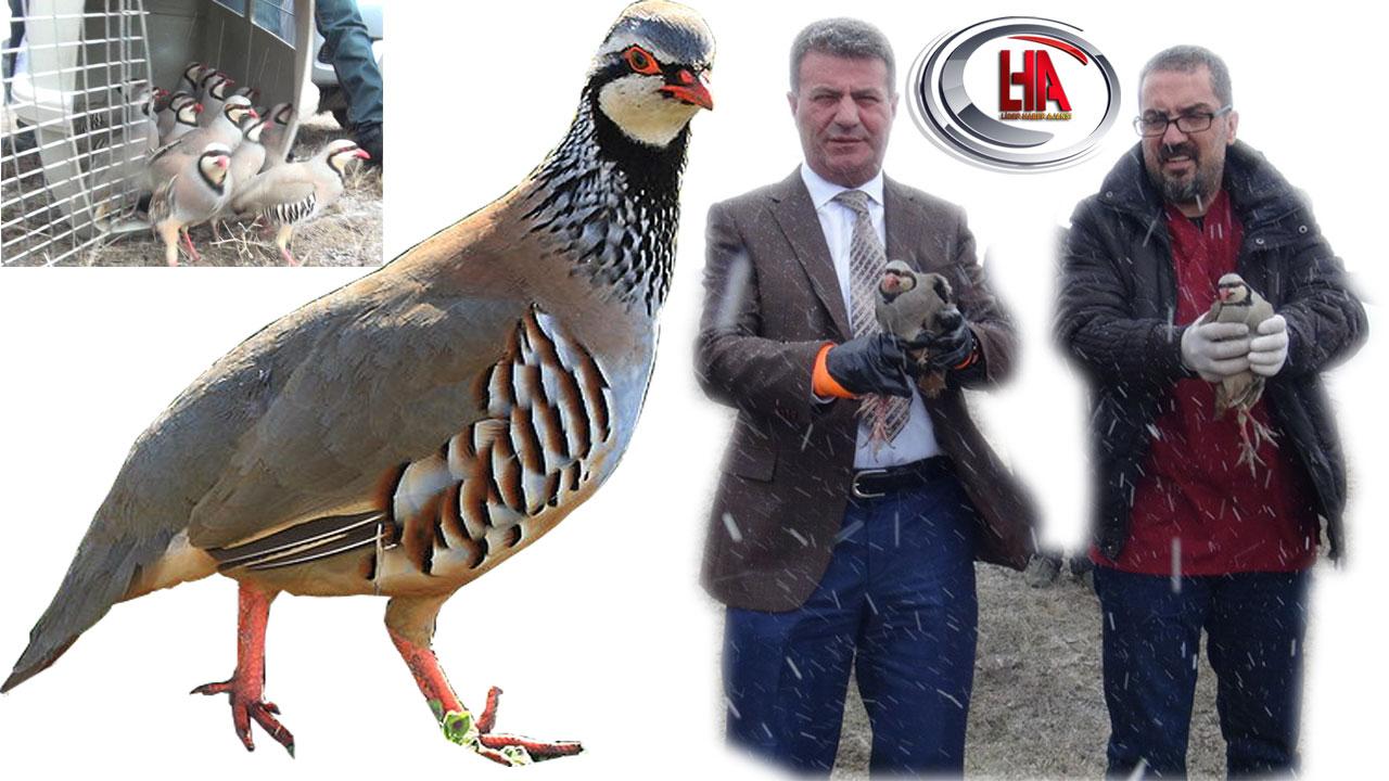 Kaçak avcılardan kurtarılan keklikler doğaya salındı