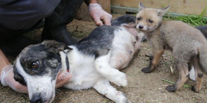 Sahipsiz kalan çakal ve tilki yavrularına köpek sahip çıktı