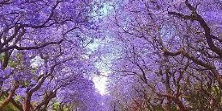 Kuşadası,Jakaranda ağaçları ile renklenecek