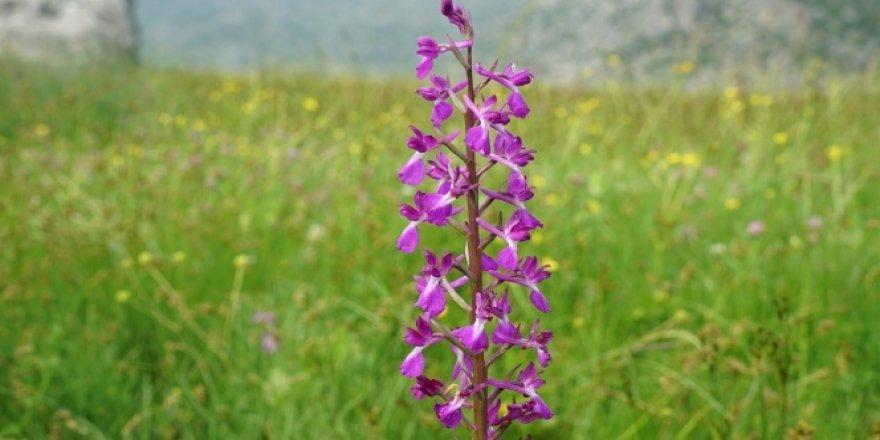 """Çiçek açan """"yabani orkideler"""" görsel şölen sunuyor"""