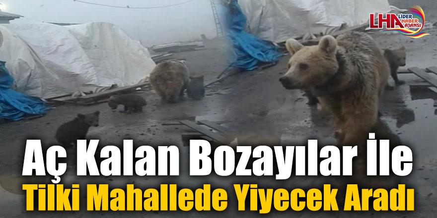 Aç Kalan Bozayılar İle Tilki Mahallede Yiyecek Aradı