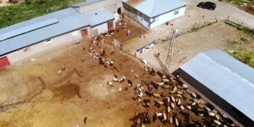 Van'da keçilerle oğlakların buluşma anı
