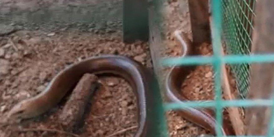 Son derece zararsız ama görenler yılan zannedip öldürüyor