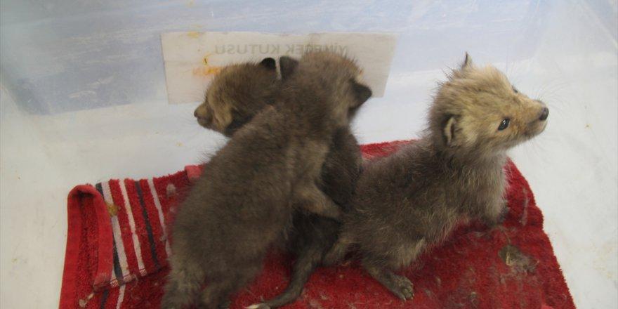 Kars'ta Kurt Ve Tilki Yavruları Emin Ellerde