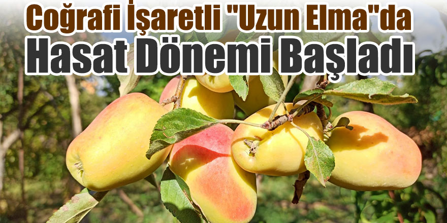 """Coğrafi İşaretli """"Uzun Elma""""da Hasat Dönemi Başladı"""