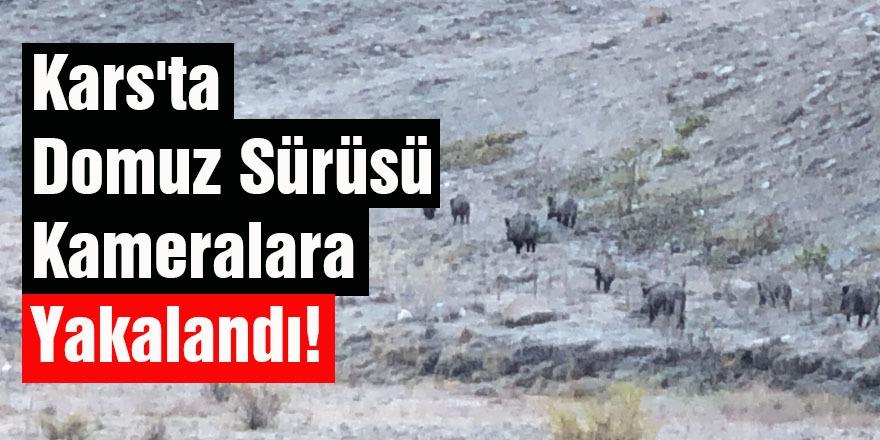 Kars'ta Domuz Sürüsü Kameralara Yakalandı!