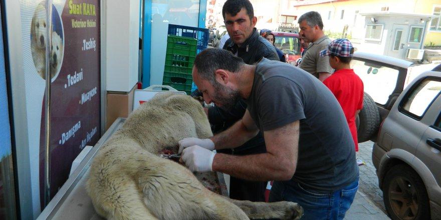 Köye Gelen Ayı Köpeği Yaraladı