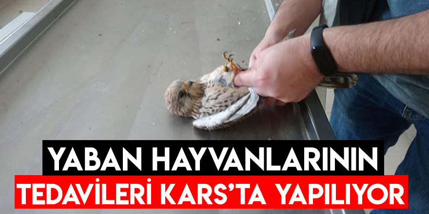 Yaban Hayvanlarının Tedavileri Kars'ta Yapılıyor