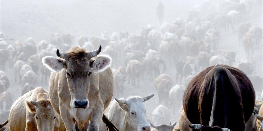Kars'ta süt ineklerinin zorlu mera yolculuğu