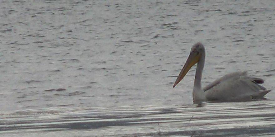 Çıldır ve Aktaş Gölü'nü pelikanlar mesken tuttu