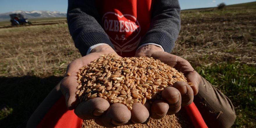 Asırlık kırmızı buğday yeniden toprakla buluştu