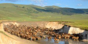 Süt ineklerinin mera yolculuğu güzel görüntüler sergiliyor