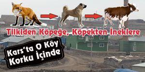 Tilkiden Köpeğe,Köpekten İneklere; Kars'ta O Köy Korku İçinde