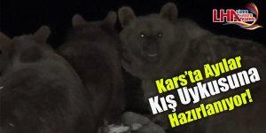 Kars'ta Ayılar Kış Uykusuna Hazırlanıyor!