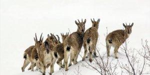 Karlı dağlarda yem arayan yaban keçileri görüntülendi