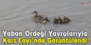 Yaban Ördeği Yavrularıyla Kars Çayı'nda Görüntülendi