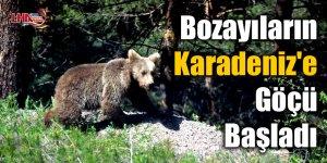 Bozayıların Karadeniz'e göçü başladı