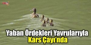 Yaban ördekleri yavrularıyla Kars Çayı'nda
