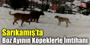 Sarıkamış'ta Boz Ayının Köpeklerle İmtihanı