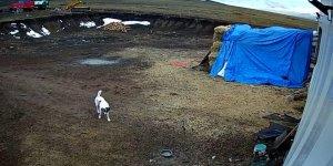 Ardahan merkez Akyaka köyüne kurt sürüsü  indi