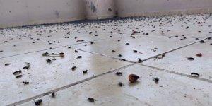 O ilde bir evi böcekler istila etti