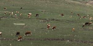 Kars'ta hayvanlar meralara çıktı
