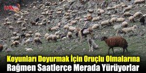 Koyunları Doyurmak İçin Oruçlu Olmalarına Rağmen Saatlerce Merada Yürüyorlar
