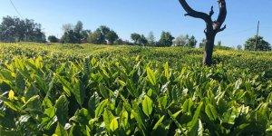 Lipton hasat için önlem programını açıkladı