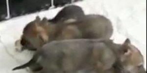 Kars'ta yavru kurtlar rehabilitasyon merkezinin gözdesi oldu