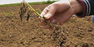 Yüzlerce dönüm tarım arazisini don vurdu, verim yüzde 50 düştü