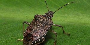 Böceklerden korona virüs geçer mi