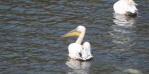 Pelikan ve leylekler Boğazköy Barajı'nı mesken tutu