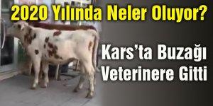 Kars'ta Buzağı Veterinere Gitti
