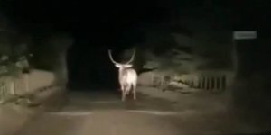Karayoluna inen geyik görenleri hayrete düşürdü