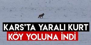 Kars'ta Yaralı Kurt Köy Yoluna İndi