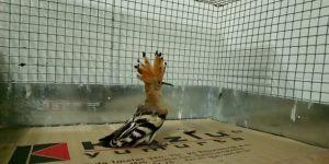 Çavuş Kuşu ve yavru tilkiler emin ellerde