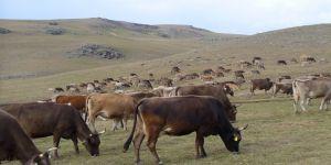 Kars'ta Büyükbaş Hayvan Kaçakçılarına Operasyon
