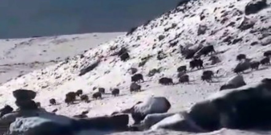 Yiyecek Arayan Domuz Sürüsü Cep Telefonuyla Görüntülendi